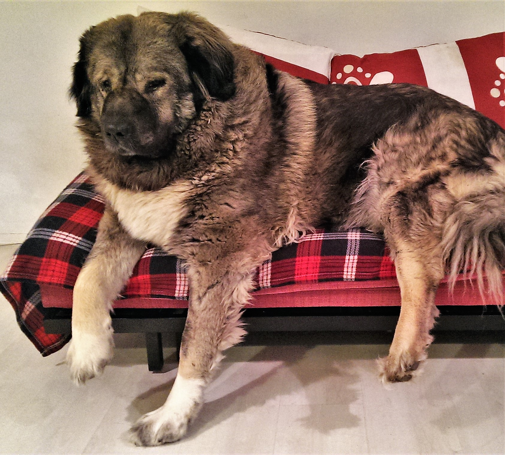 moses, dog, caucasian shepherd, huge dog, shepherd, mountain dog, georgian shepherd,