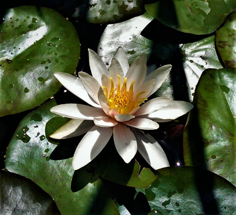 White waterlily. ©Shorena Ratiani Photography