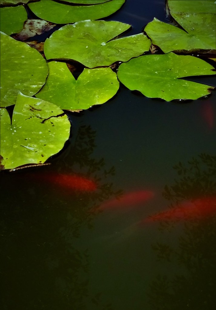 Waterlilies in the pond. ©Shorena Ratiani Photography