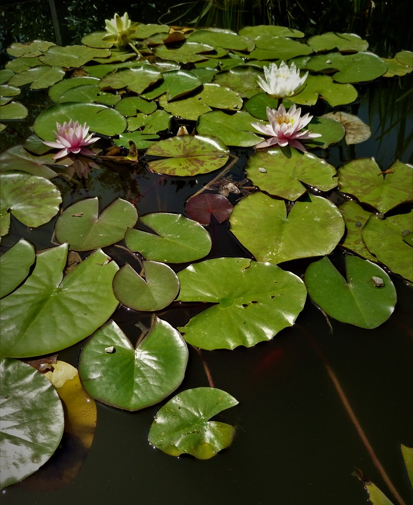 Waterlilies. ©Shorena Ratiani Photography