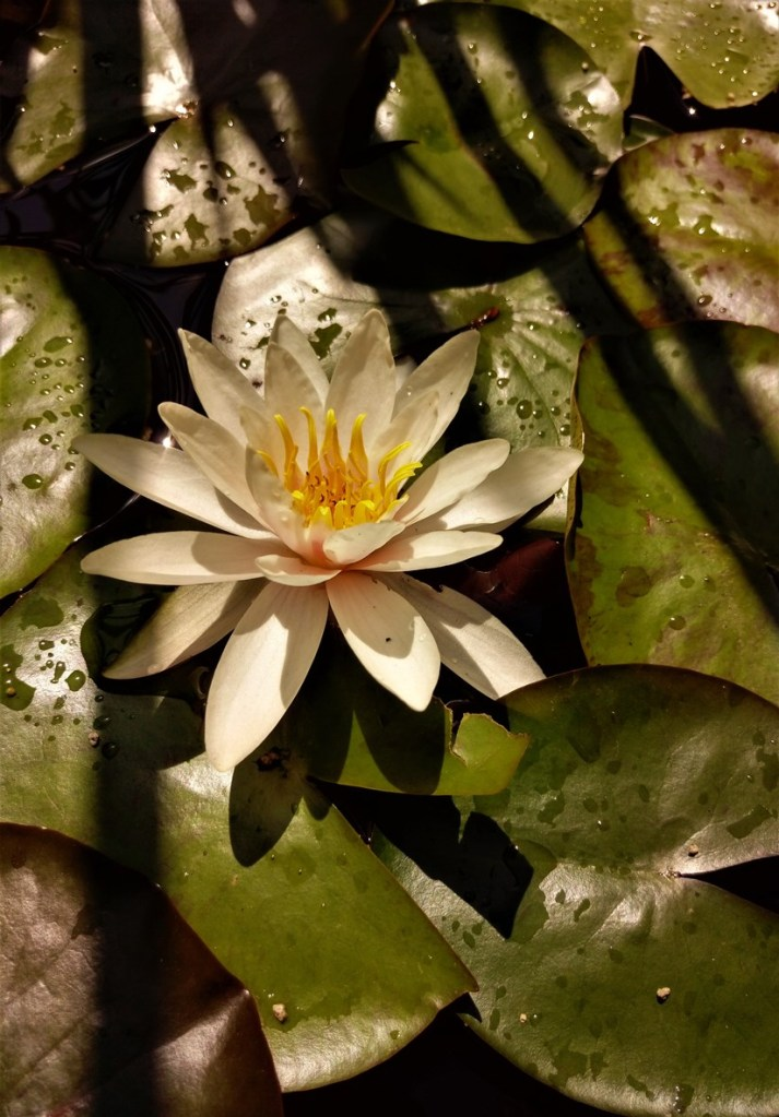 Waterlily. ©Shorena Ratiani Photography