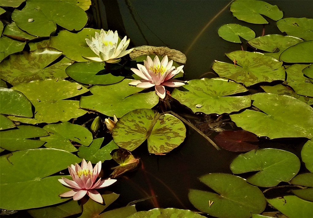 Pink waterlily series. ©Shorena Ratiani Photography