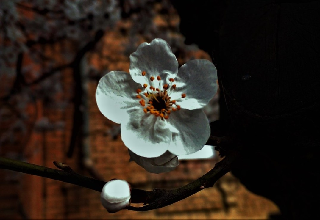 Blooming plum. © Shorena Ratiani Photography