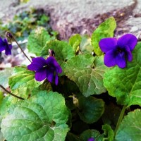 love is all around when violets are all around