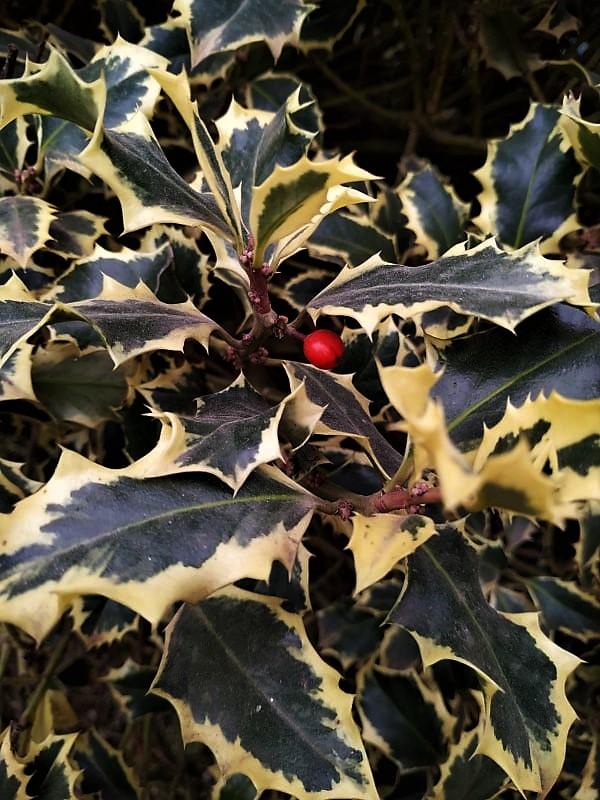 Holly shrubs with red berries
