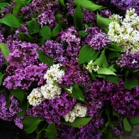Lovely Lilac in Bloom!