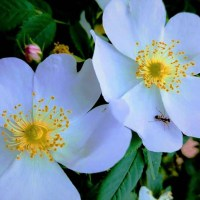 Dog Rose facts and photos