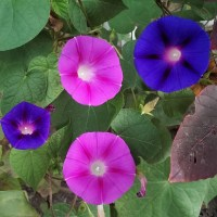 'High' secrets of Morning Glory